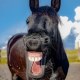 A horse that looks like it is laughing